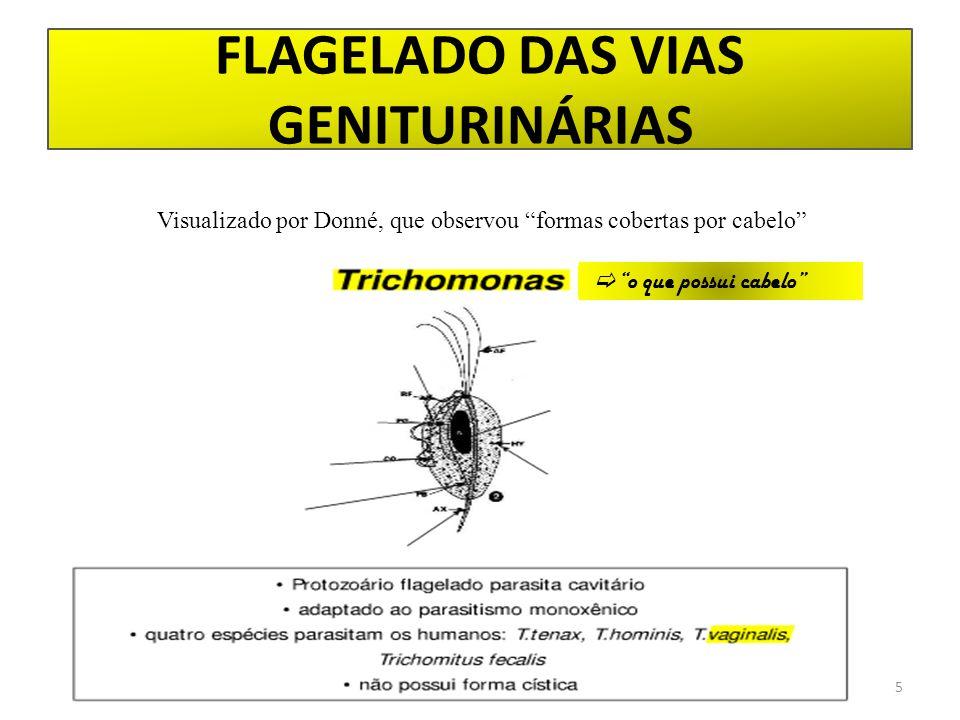 """FLAGELADO DAS VIAS GENITURINÁRIAS 5  """"o que possui cabelo"""" Visualizado por Donné, que observou """"formas cobertas por cabelo"""""""