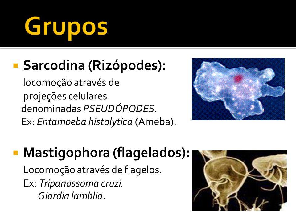  Ciliophora (ciliados): locomoção através de cílios.