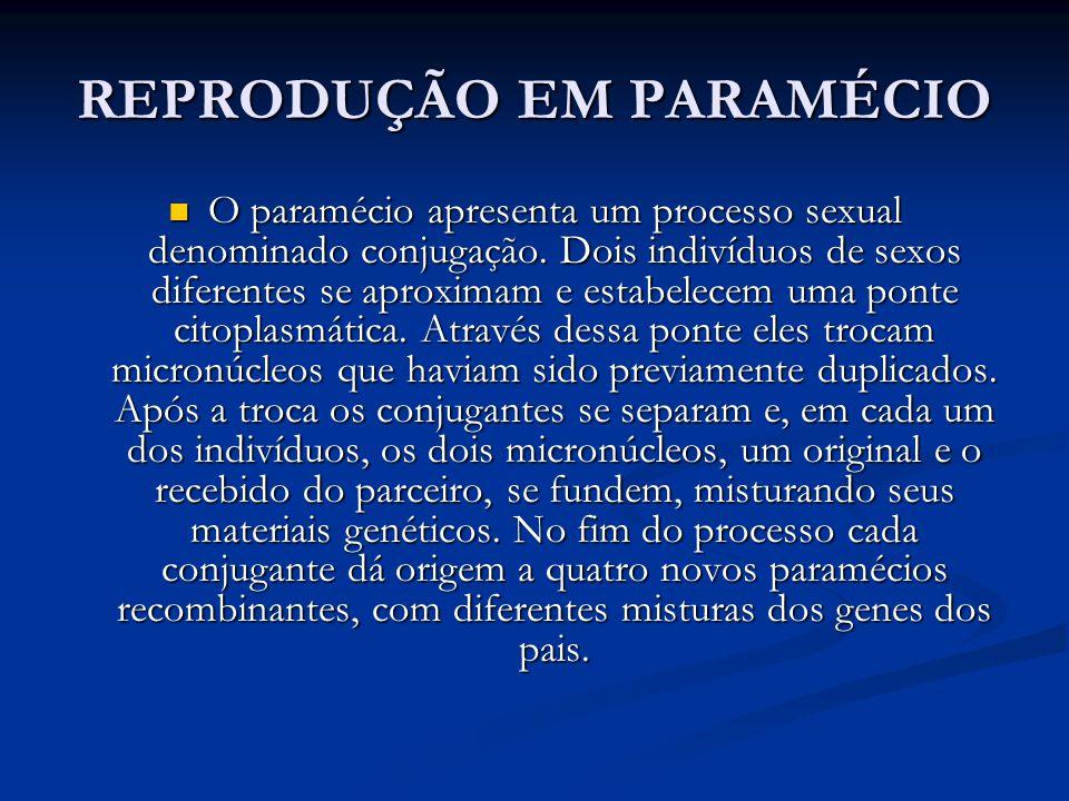 REPRODUÇÃO EM PARAMÉCIO O paramécio apresenta um processo sexual denominado conjugação.
