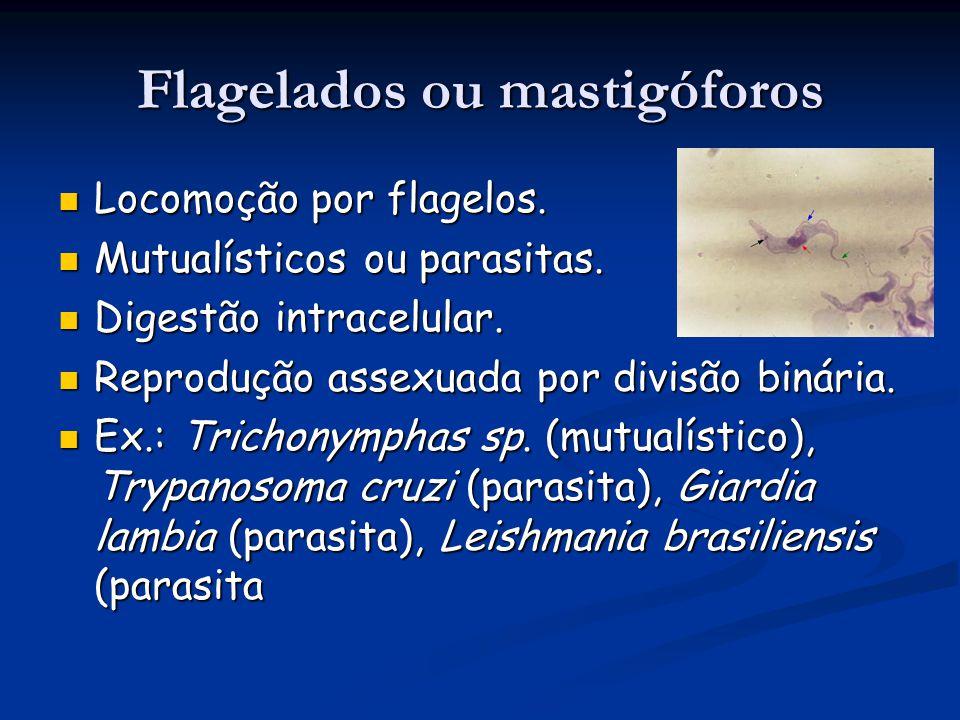 Flagelados ou mastigóforos Locomoção por flagelos.