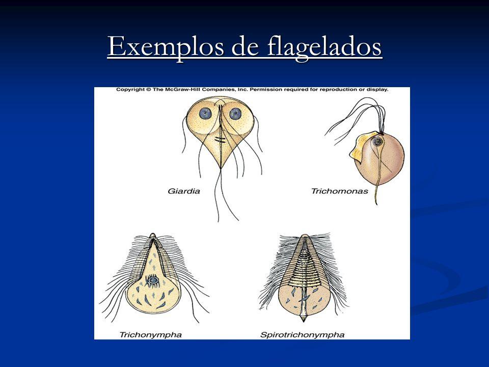 Exemplos de flagelados