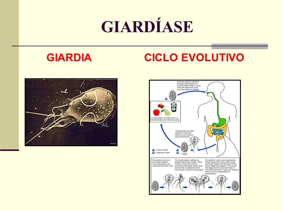 GIARDÍASE GIARDIA CICLO EVOLUTIVO
