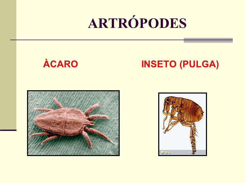 ARTRÓPODES ÀCARO INSETO (PULGA)