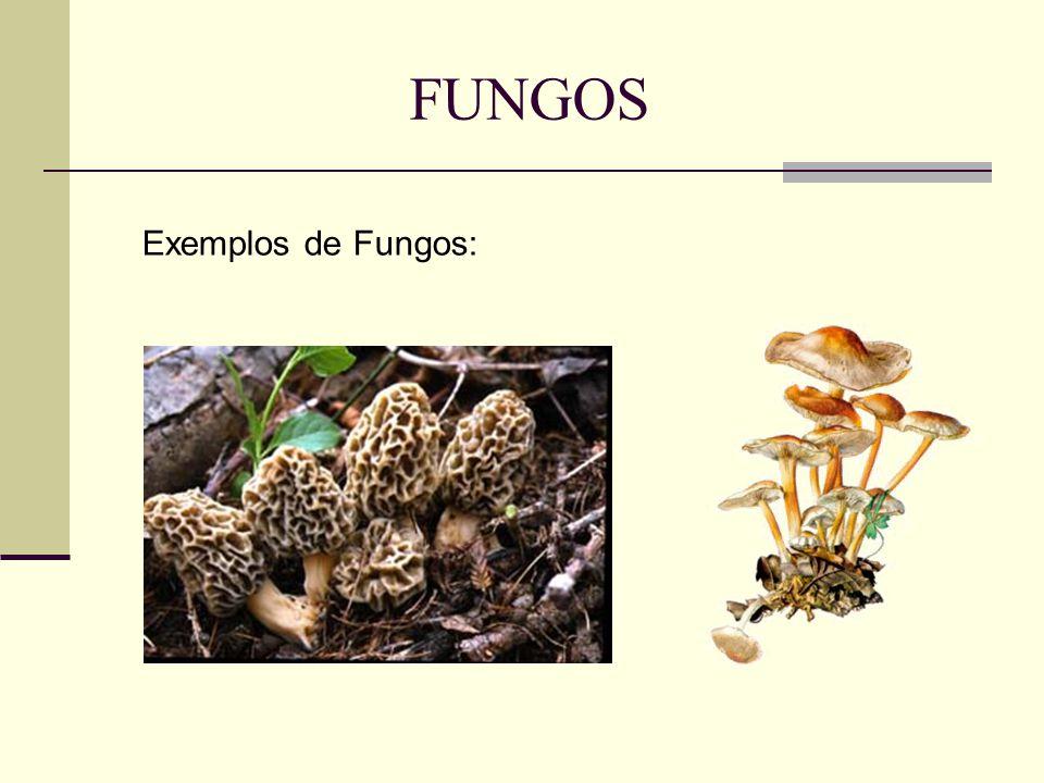 FUNGOS Exemplos de Fungos: