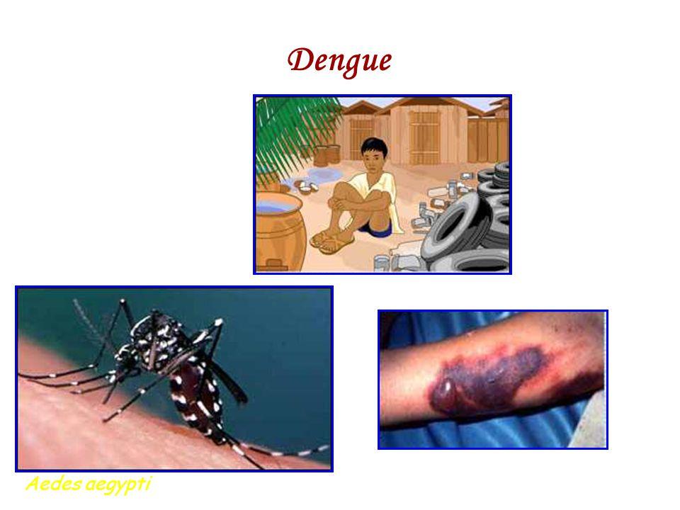 Dengue Aedes aegypti