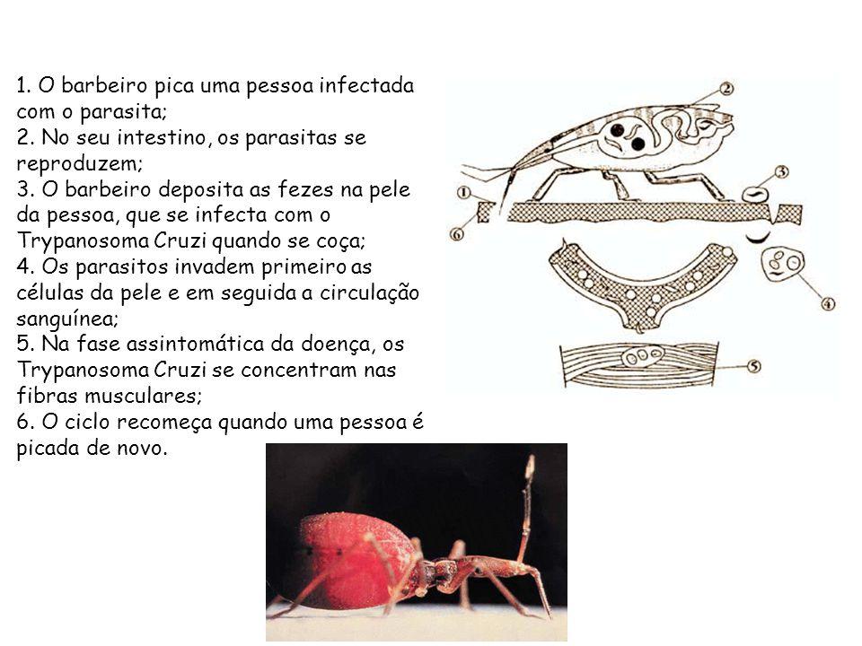 1. O barbeiro pica uma pessoa infectada com o parasita; 2. No seu intestino, os parasitas se reproduzem; 3. O barbeiro deposita as fezes na pele da pe