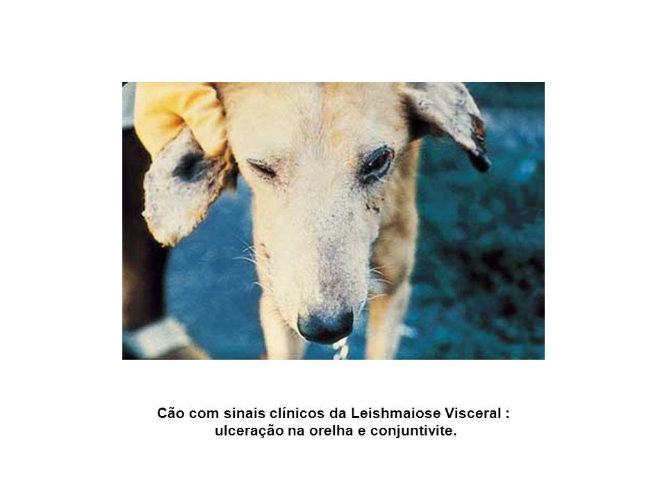 Cão com sinais clínicos da Leishmaiose Visceral : ulceração na orelha e conjuntivite.
