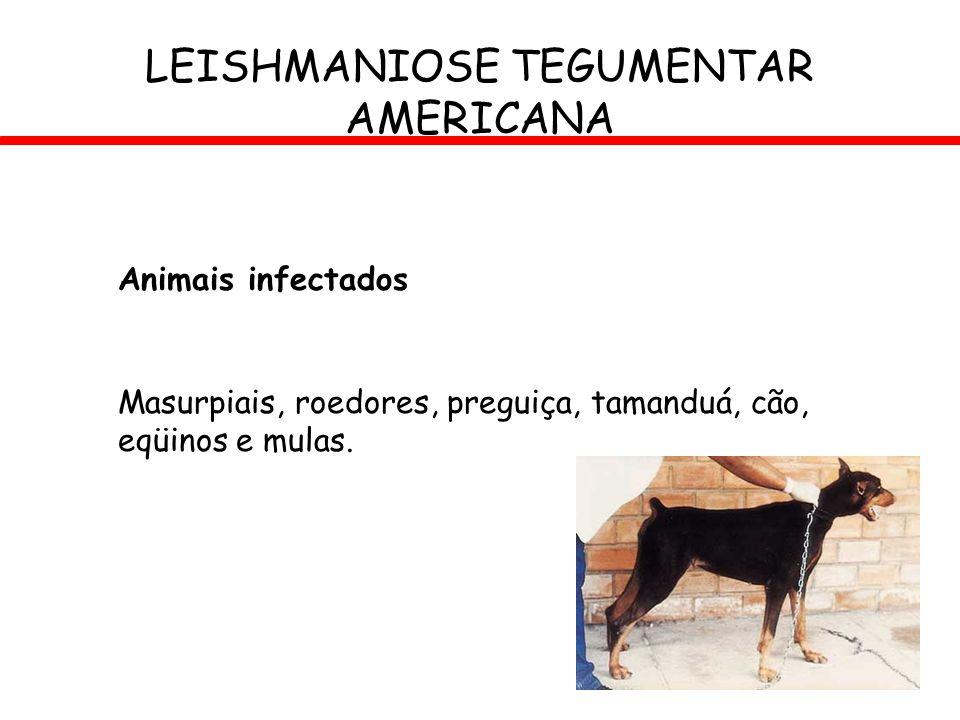 Animais infectados Masurpiais, roedores, preguiça, tamanduá, cão, eqüinos e mulas. LEISHMANIOSE TEGUMENTAR AMERICANA
