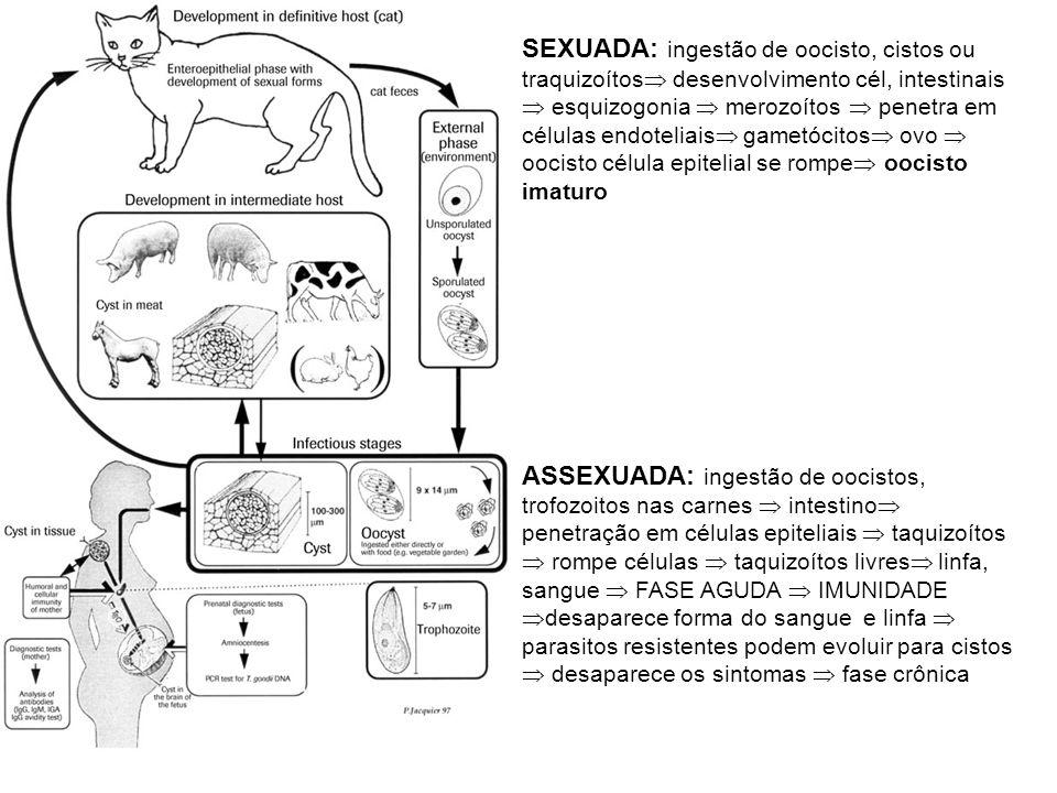 SEXUADA: ingestão de oocisto, cistos ou traquizoítos  desenvolvimento cél, intestinais  esquizogonia  merozoítos  penetra em células endoteliais 
