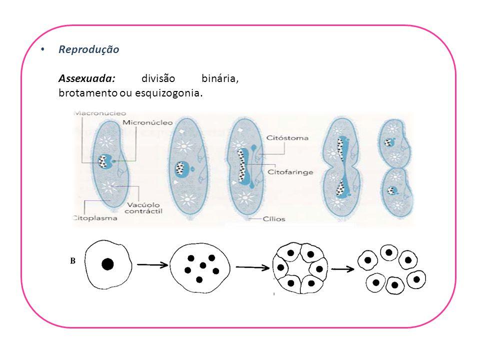 Reprodução Assexuada: divisão binária, brotamento ou esquizogonia.