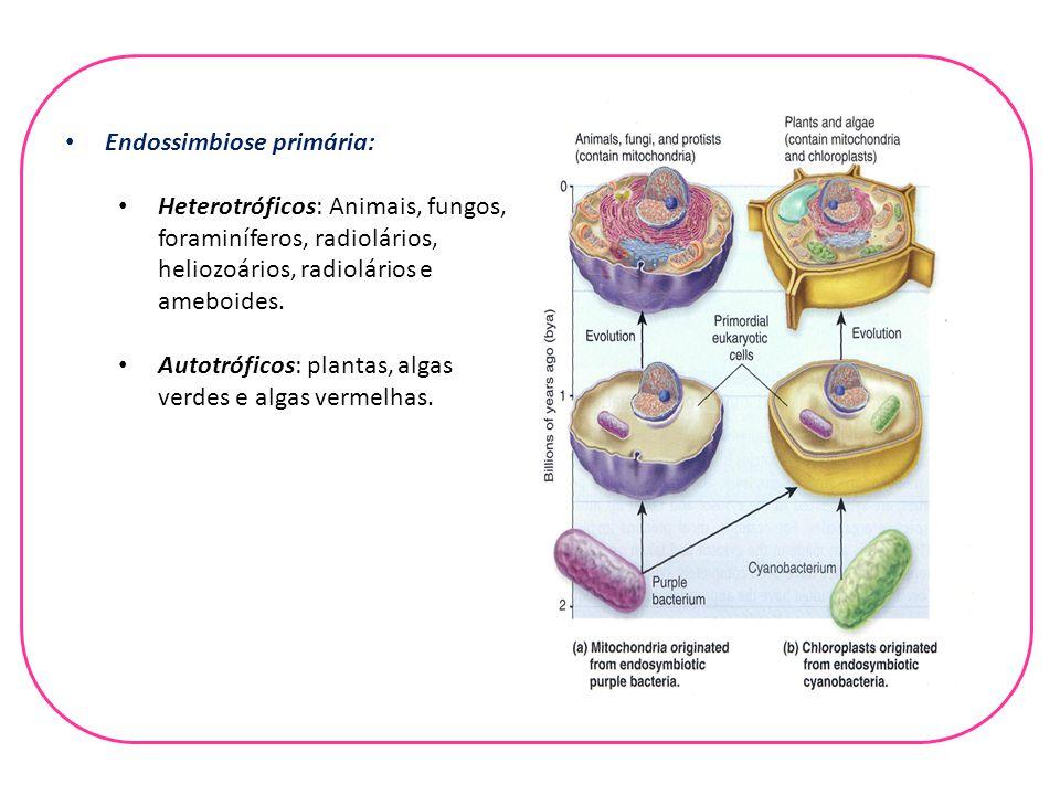 Endossimbiose primária: Heterotróficos: Animais, fungos, foraminíferos, radiolários, heliozoários, radiolários e ameboides. Autotróficos: plantas, alg