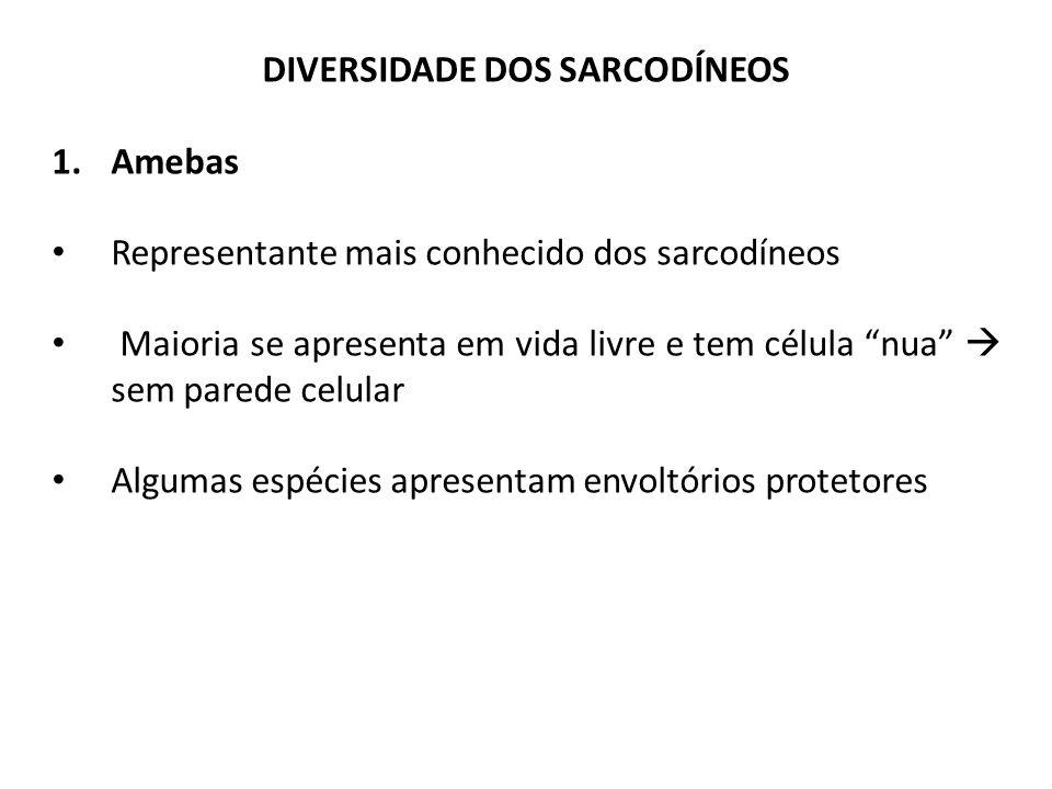 DIVERSIDADE DOS SARCODÍNEOS 1.Amebas Representante mais conhecido dos sarcodíneos Maioria se apresenta em vida livre e tem célula nua  sem parede celular Algumas espécies apresentam envoltórios protetores
