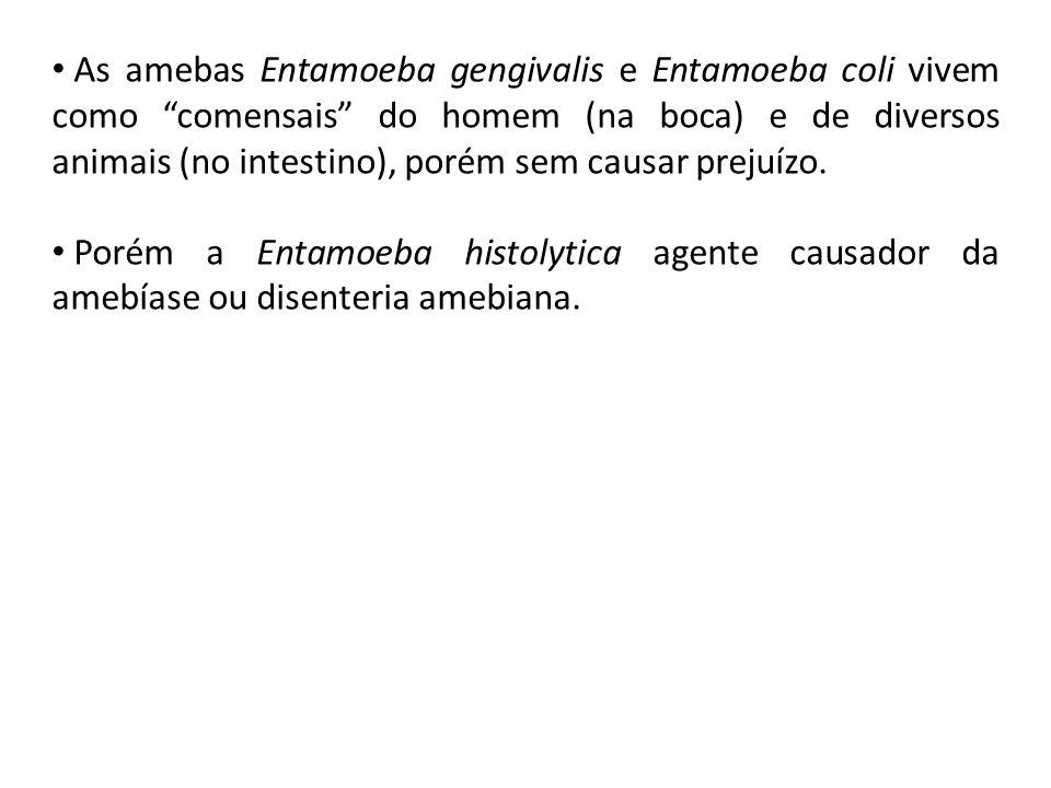 """As amebas Entamoeba gengivalis e Entamoeba coli vivem como """"comensais"""" do homem (na boca) e de diversos animais (no intestino), porém sem causar preju"""