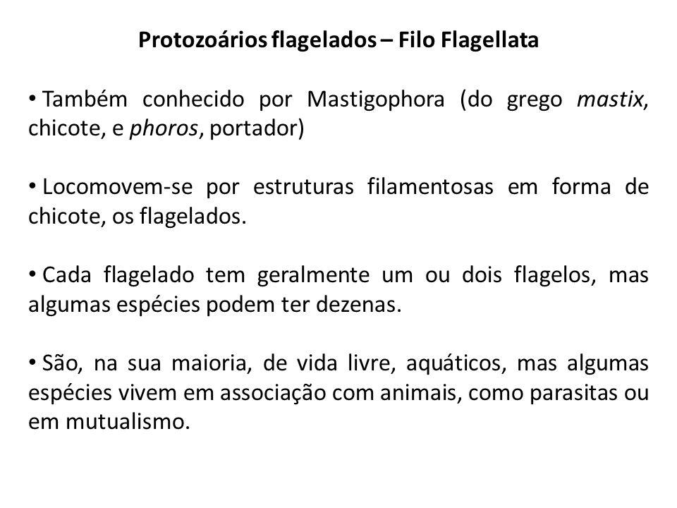 Protozoários flagelados – Filo Flagellata Também conhecido por Mastigophora (do grego mastix, chicote, e phoros, portador) Locomovem-se por estruturas filamentosas em forma de chicote, os flagelados.