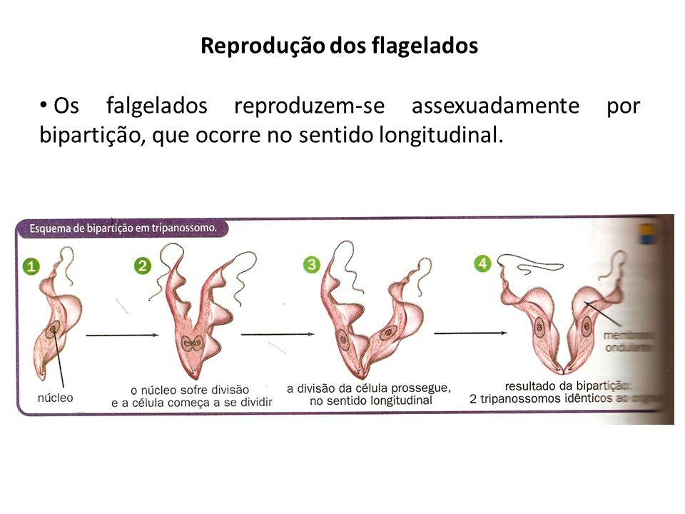 Reprodução dos flagelados Os falgelados reproduzem-se assexuadamente por bipartição, que ocorre no sentido longitudinal.