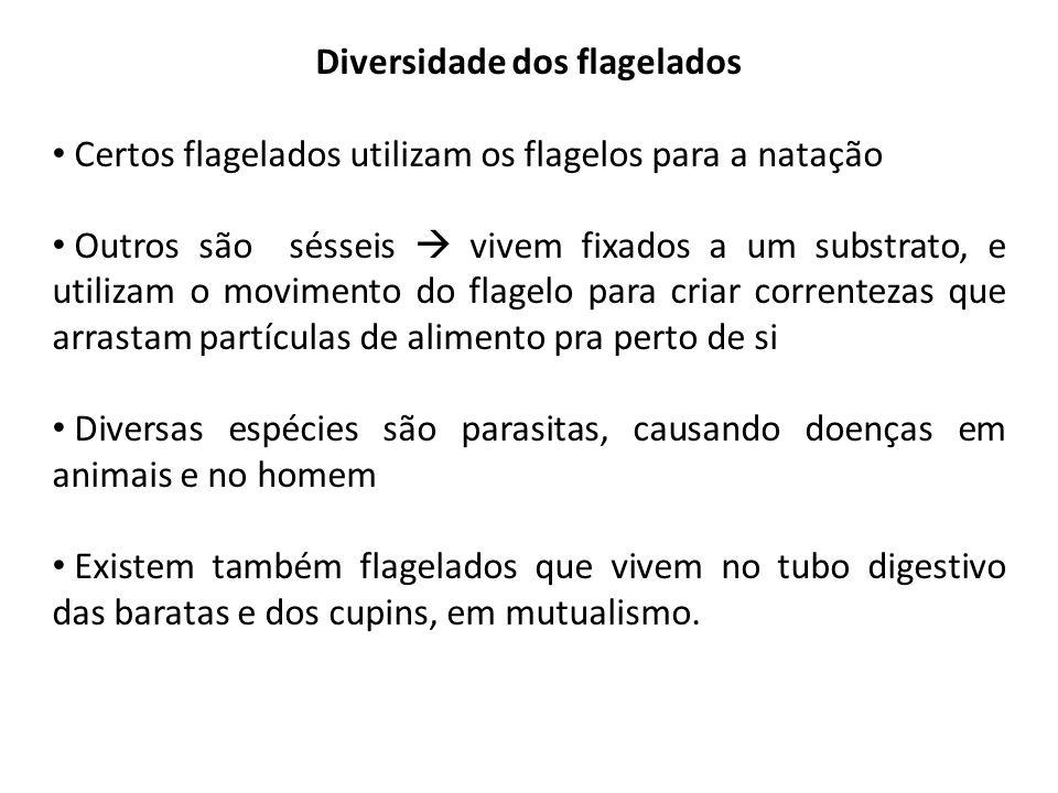 Diversidade dos flagelados Certos flagelados utilizam os flagelos para a natação Outros são sésseis  vivem fixados a um substrato, e utilizam o movim