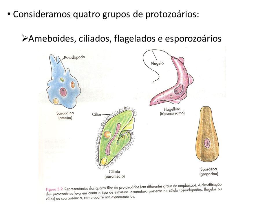 Consideramos quatro grupos de protozoários:  Ameboides, ciliados, flagelados e esporozoários