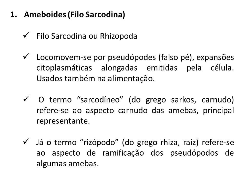 1.Ameboides (Filo Sarcodina) Filo Sarcodina ou Rhizopoda Locomovem-se por pseudópodes (falso pé), expansões citoplasmáticas alongadas emitidas pela célula.