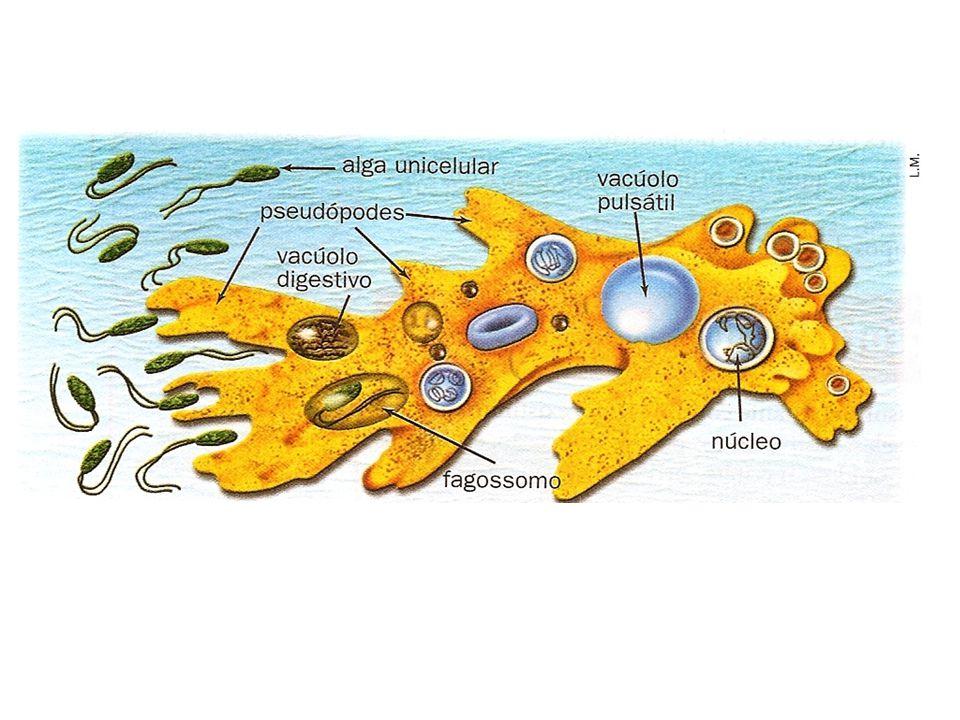 Os pseudópodos permitem às amebas deslocarem-se em direção ao alimento, envolvendo-o e incorporando-o, no processo que denominamos fagocitose.