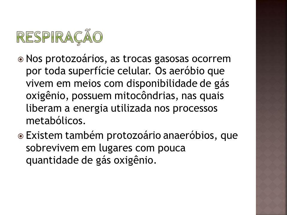  Nos protozoários, as trocas gasosas ocorrem por toda superfície celular. Os aeróbio que vivem em meios com disponibilidade de gás oxigênio, possuem