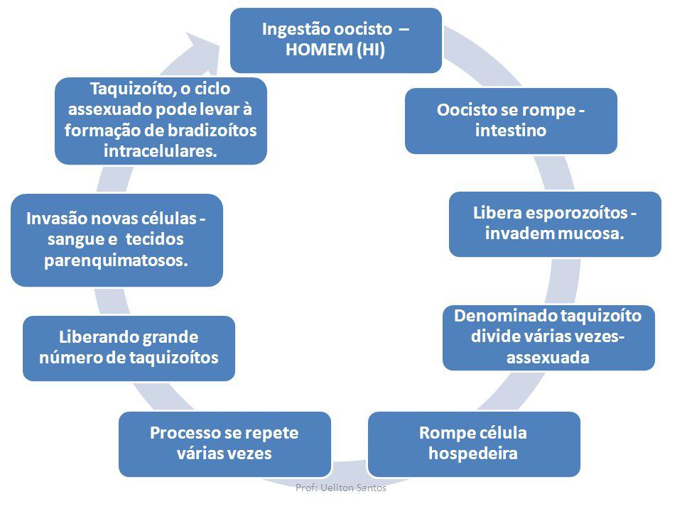 Ingestão oocisto – HOMEM (HI) Oocisto se rompe - intestino Libera esporozoítos - invadem mucosa. Denominado taquizoíto divide várias vezes- assexuada