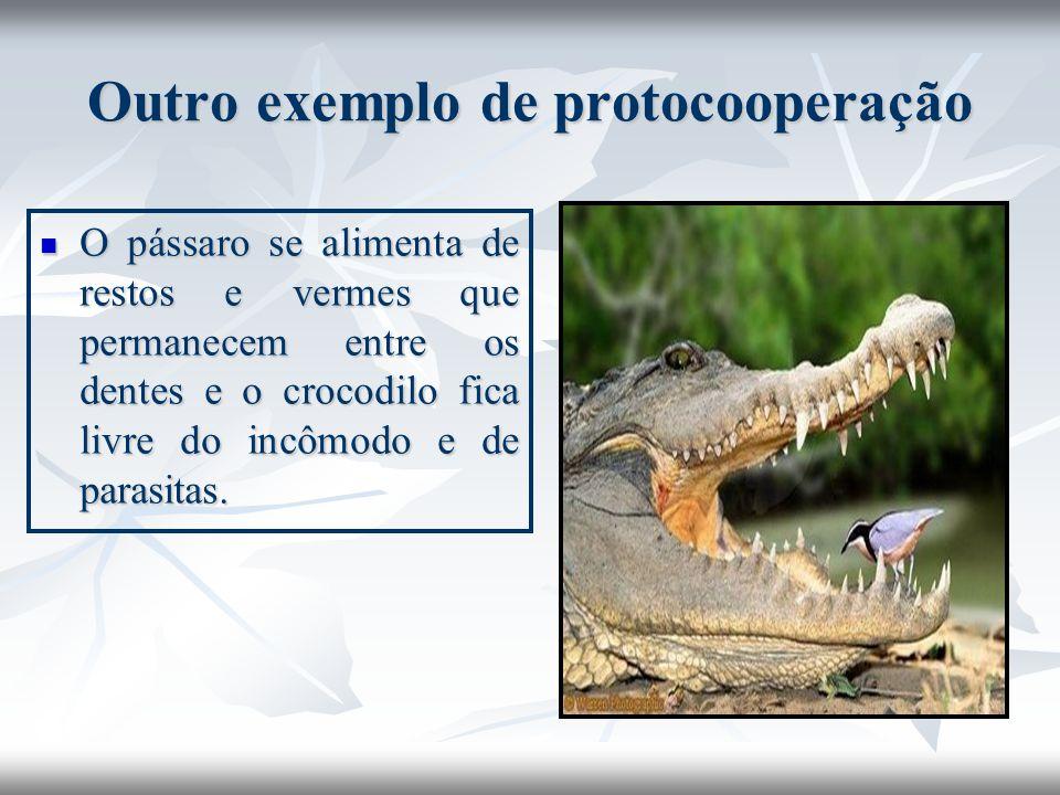 Outro exemplo de protocooperação O pássaro se alimenta de restos e vermes que permanecem entre os dentes e o crocodilo fica livre do incômodo e de par