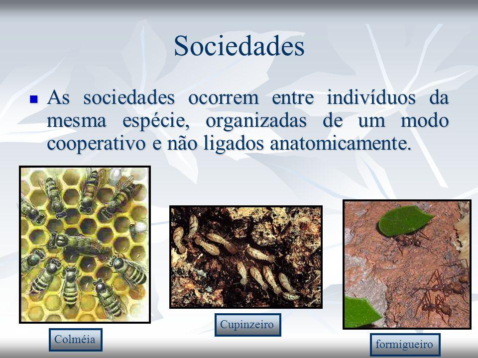 Sociedades As sociedades ocorrem entre indivíduos da mesma espécie, organizadas de um modo cooperativo e não ligados anatomicamente. As sociedades oco
