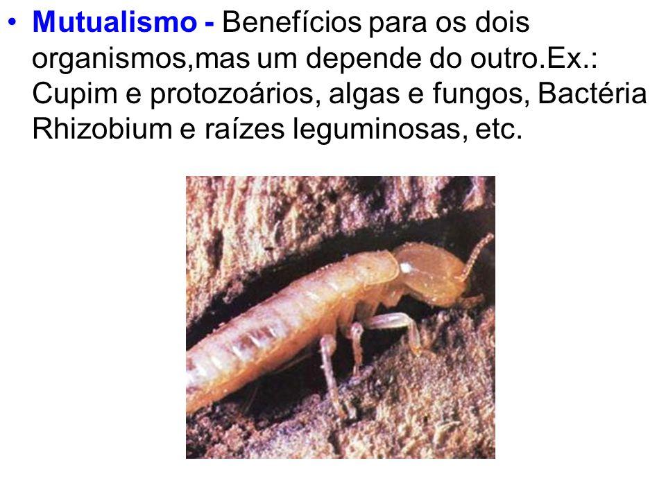 Mutualismo - Benefícios para os dois organismos,mas um depende do outro.Ex.: Cupim e protozoários, algas e fungos, Bactéria Rhizobium e raízes legumin