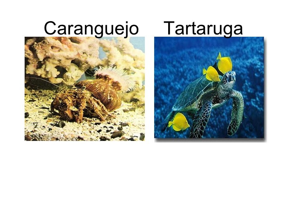 Caranguejo Tartaruga