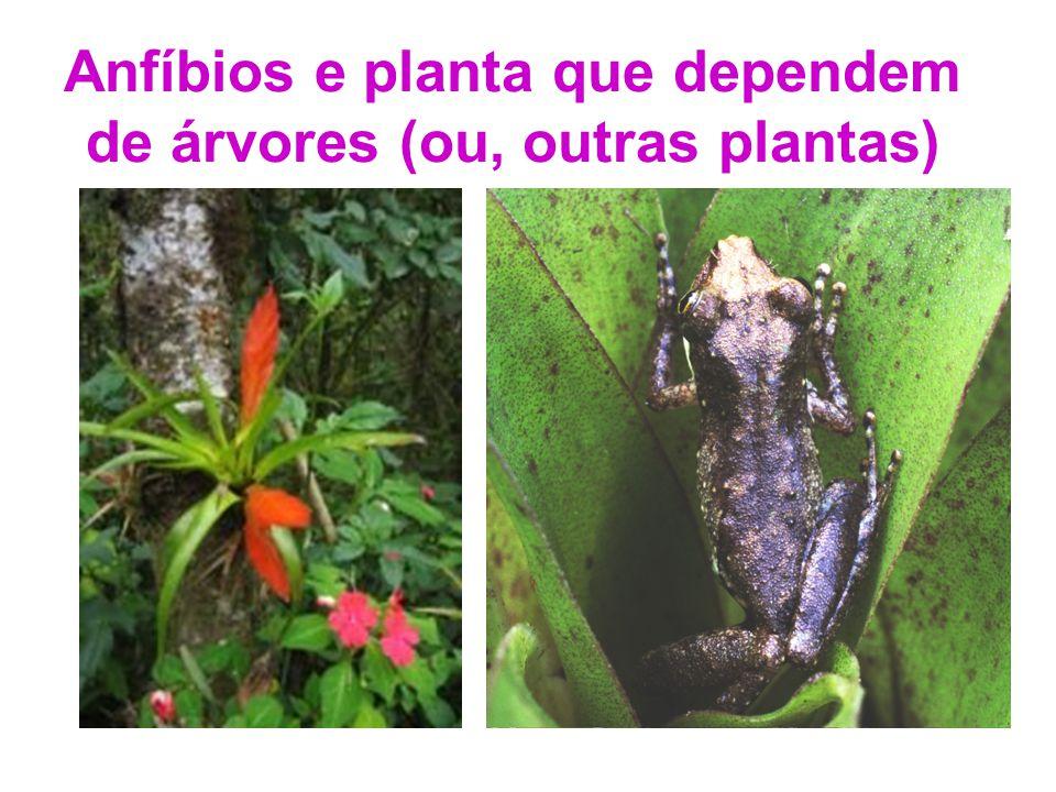 Anfíbios e planta que dependem de árvores (ou, outras plantas)