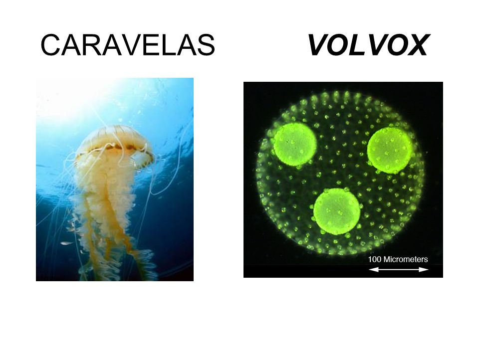 CARAVELAS VOLVOX