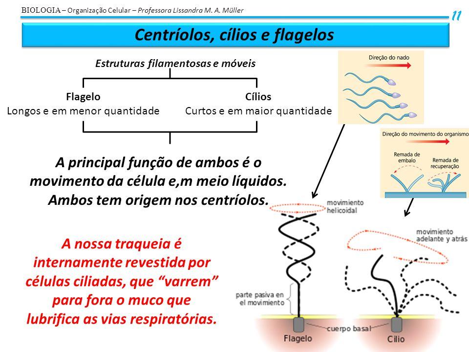 Centríolos, cílios e flagelos 11 BIOLOGIA – Organização Celular – Professora Lissandra M. A. Müller Estruturas filamentosas e móveis Flagelo Longos e