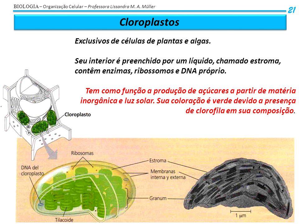 Cloroplastos 21 BIOLOGIA – Organização Celular – Professora Lissandra M. A. Müller Exclusivos de células de plantas e algas. Seu interior é preenchido