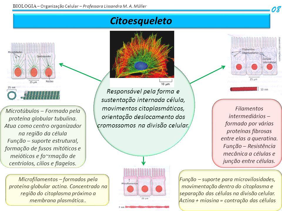 Citoesqueleto 08 Responsável pela forma e sustentação internada célula, movimentos citoplasmáticos, orientação deslocamento dos cromossomos na divisão