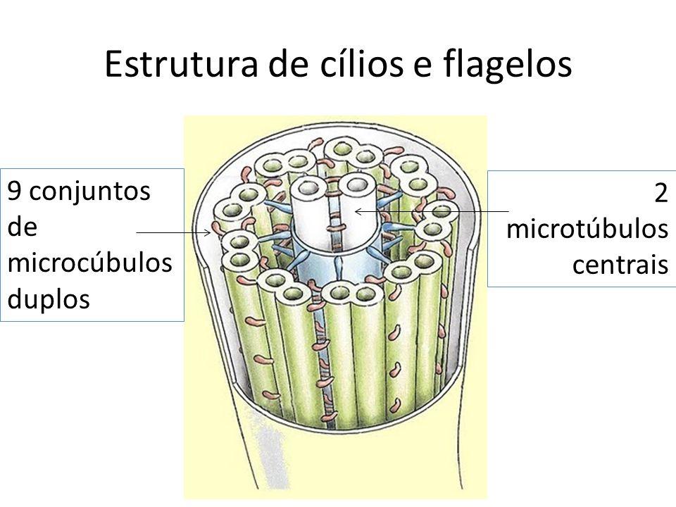Estrutura de cílios e flagelos 9 conjuntos de microcúbulos duplos 2 microtúbulos centrais