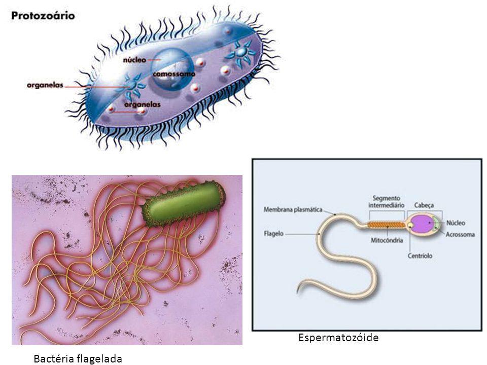 Bactéria flagelada Espermatozóide
