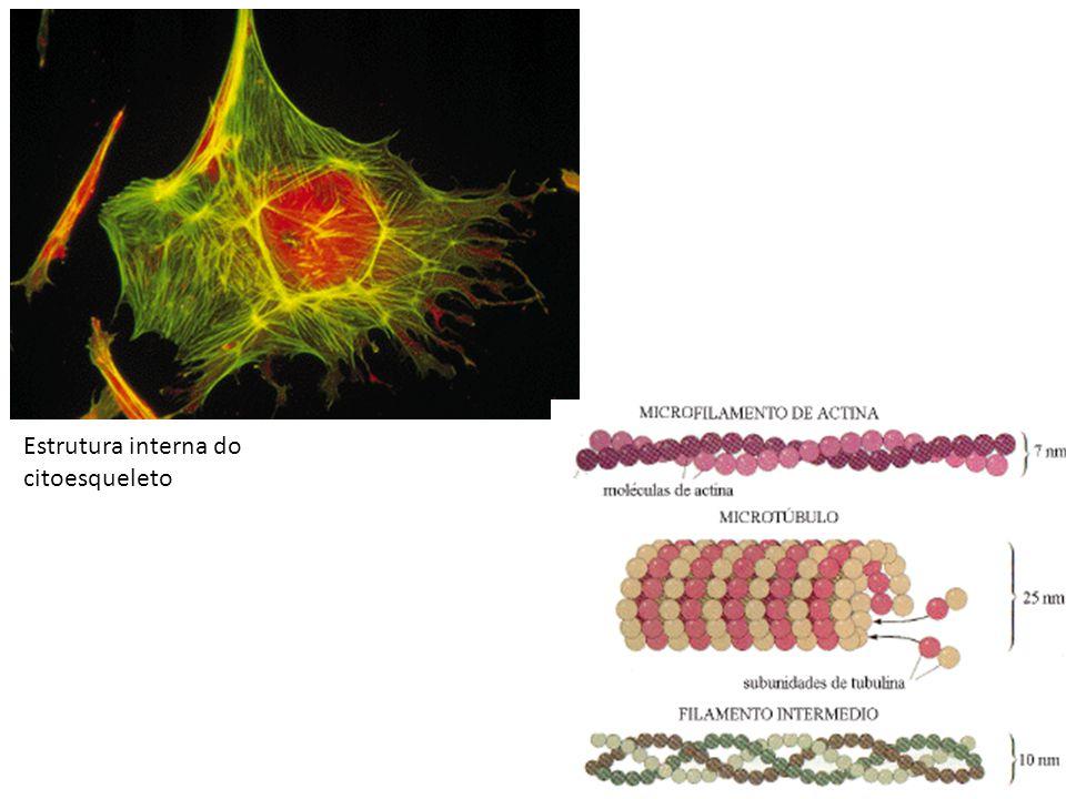 Retículo Endoplasmático (RE) Rede de membranas duplas lipoproteicas Formam sacos achatados (cisternas), vacúolos, túbulos e vesículas RE rugoso: ribossomos aderidos à membrana, associado à síntese de proteínas RE liso: sem ribossomos, associado à síntese de lipídios Ambos: armazenamento, transporte, facilita reações químicas e sintetiza substâncias