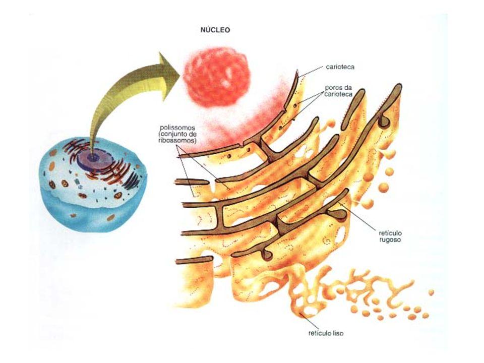Ribossomos Síntese de proteínas Duas unidades de tamanhos diferentes Compostos por RNA ribossômico e proteínas Se formam no interior do nucléolo Podem ser isolados no hialoplasma, reunidos por uma fita de RNA m (polirribossomos), associados a membrana do RE rugoso.
