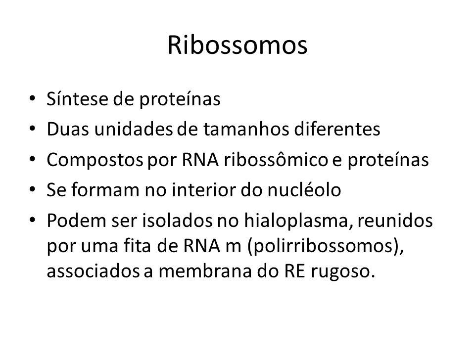 Ribossomos Síntese de proteínas Duas unidades de tamanhos diferentes Compostos por RNA ribossômico e proteínas Se formam no interior do nucléolo Podem