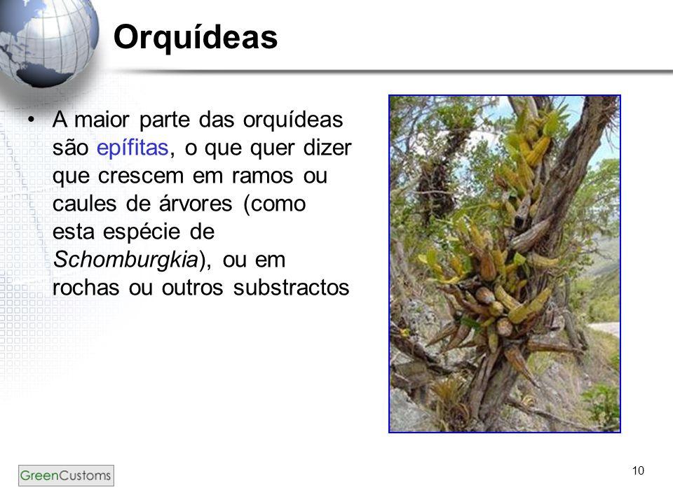10 Orquídeas A maior parte das orquídeas são epífitas, o que quer dizer que crescem em ramos ou caules de árvores (como esta espécie de Schomburgkia),