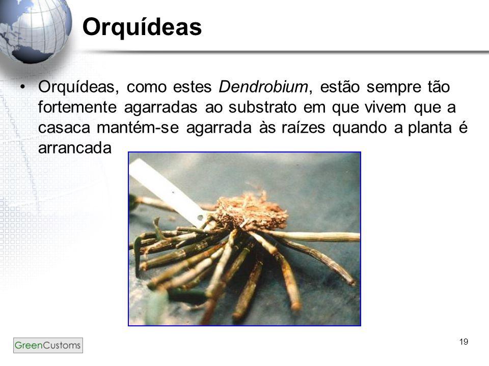 19 Orquídeas Orquídeas, como estes Dendrobium, estão sempre tão fortemente agarradas ao substrato em que vivem que a casaca mantém-se agarrada às raíz