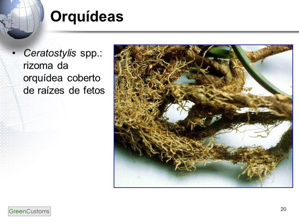 20 Orquídeas Ceratostylis spp.: rizoma da orquídea coberto de raízes de fetos