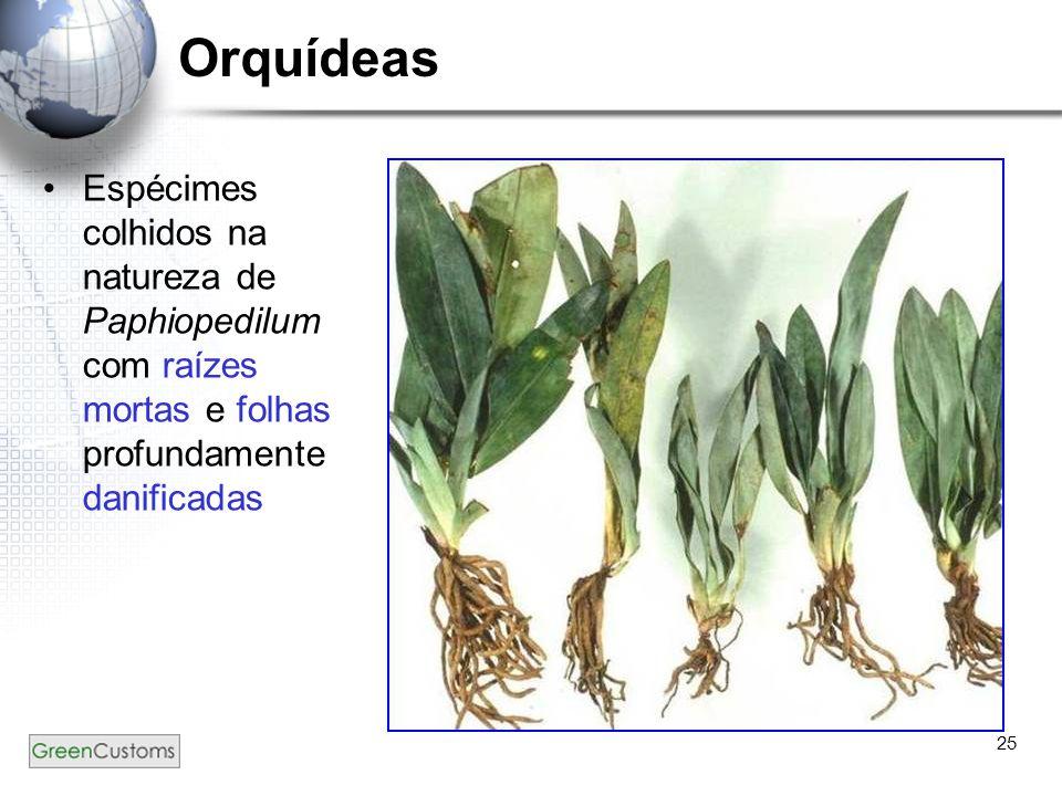 25 Orquídeas Espécimes colhidos na natureza de Paphiopedilum com raízes mortas e folhas profundamente danificadas