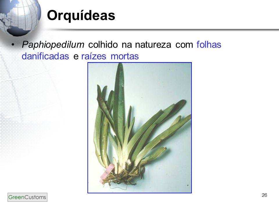 26 Orquídeas Paphiopedilum colhido na natureza com folhas danificadas e raízes mortas