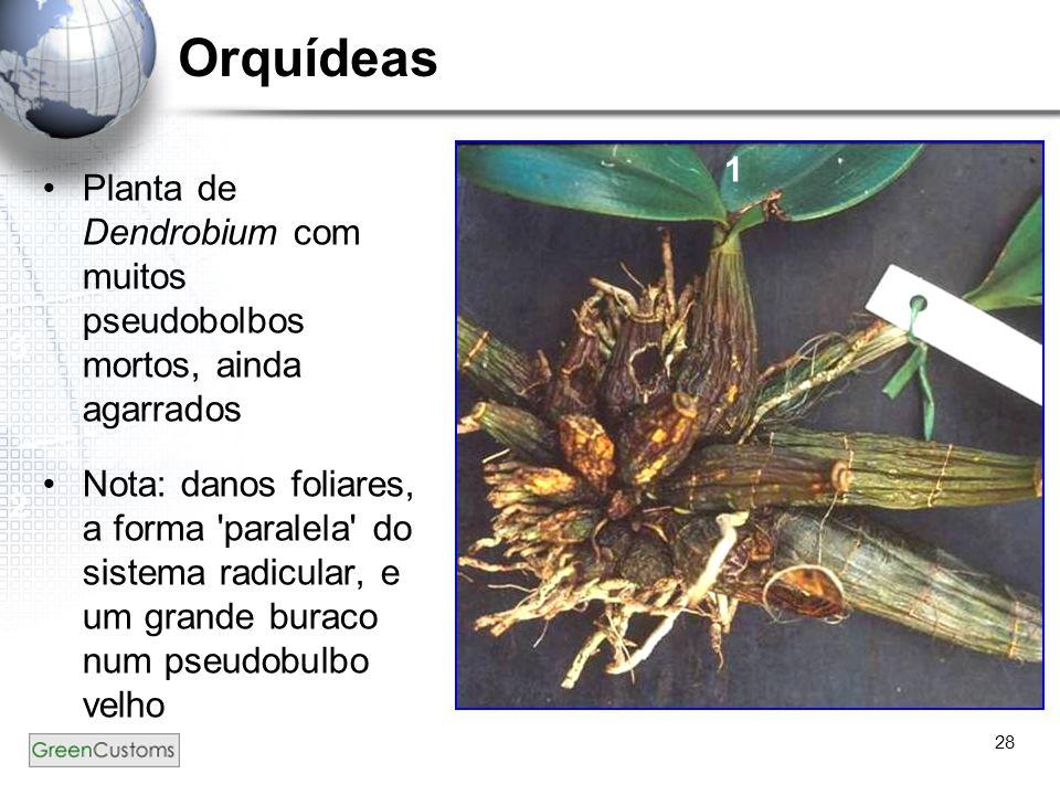 28 Orquídeas Planta de Dendrobium com muitos pseudobolbos mortos, ainda agarrados Nota: danos foliares, a forma 'paralela' do sistema radicular, e um
