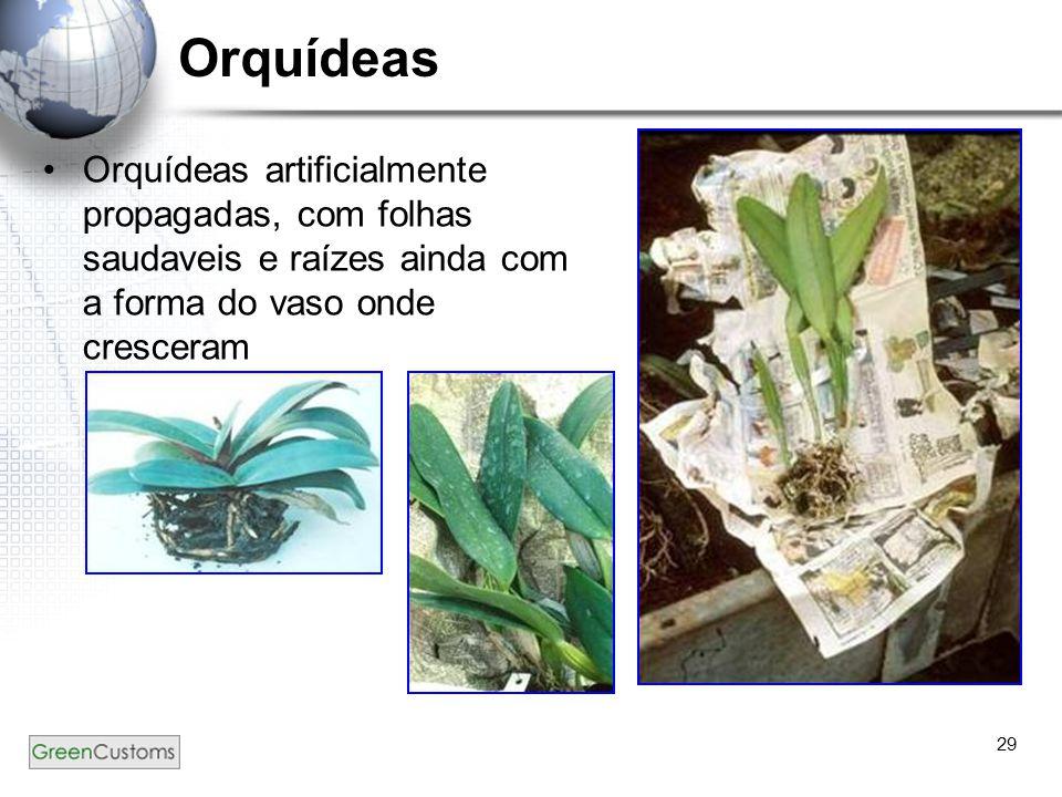 29 Orquídeas Orquídeas artificialmente propagadas, com folhas saudaveis e raízes ainda com a forma do vaso onde cresceram