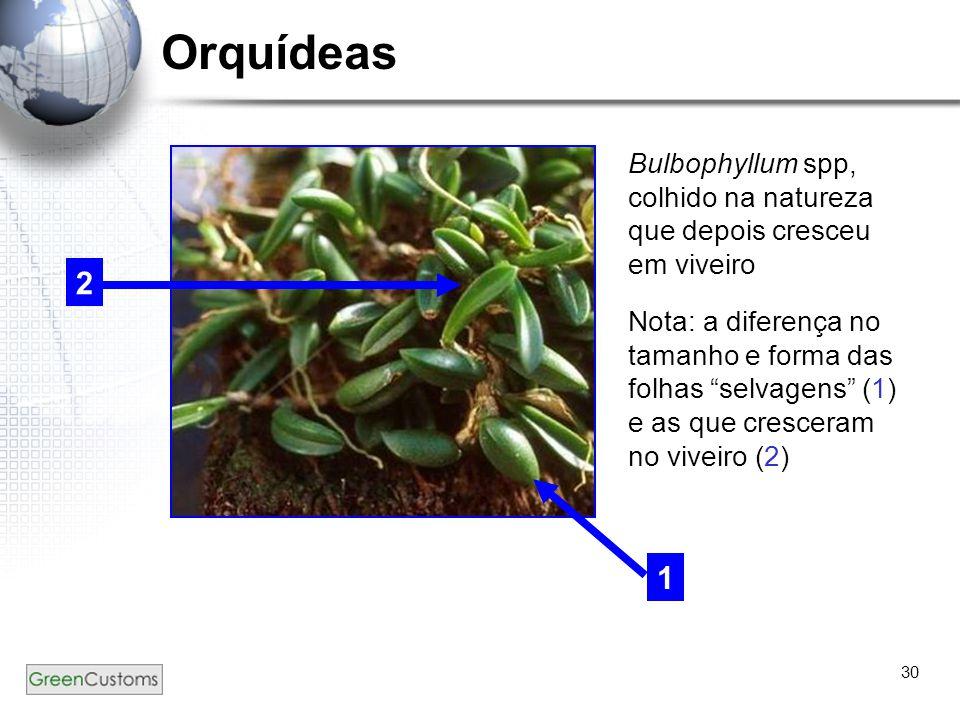 """30 Orquídeas Bulbophyllum spp, colhido na natureza que depois cresceu em viveiro Nota: a diferença no tamanho e forma das folhas """"selvagens"""" (1) e as"""
