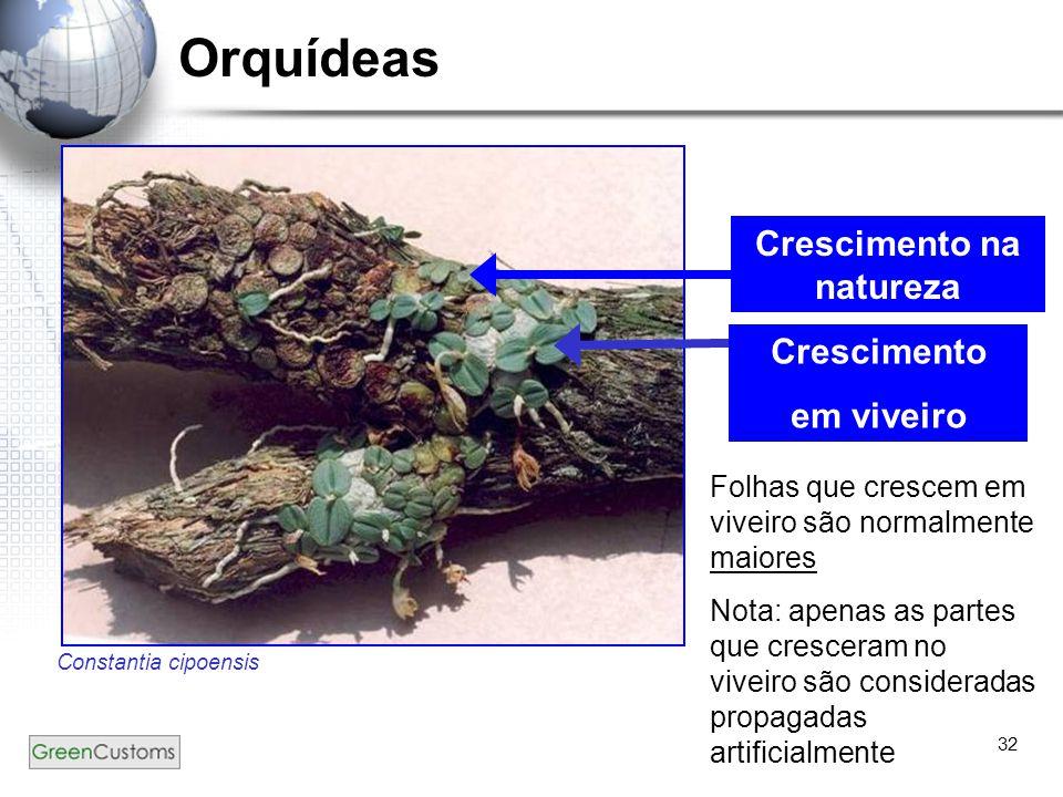 32 Orquídeas Constantia cipoensis Crescimento na natureza Crescimento em viveiro Folhas que crescem em viveiro são normalmente maiores Nota: apenas as
