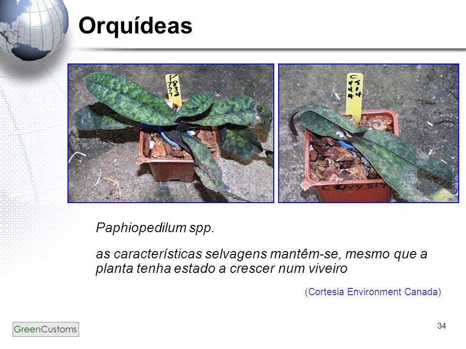 34 Orquídeas Paphiopedilum spp. as características selvagens mantêm-se, mesmo que a planta tenha estado a crescer num viveiro (Cortesia Environment Ca