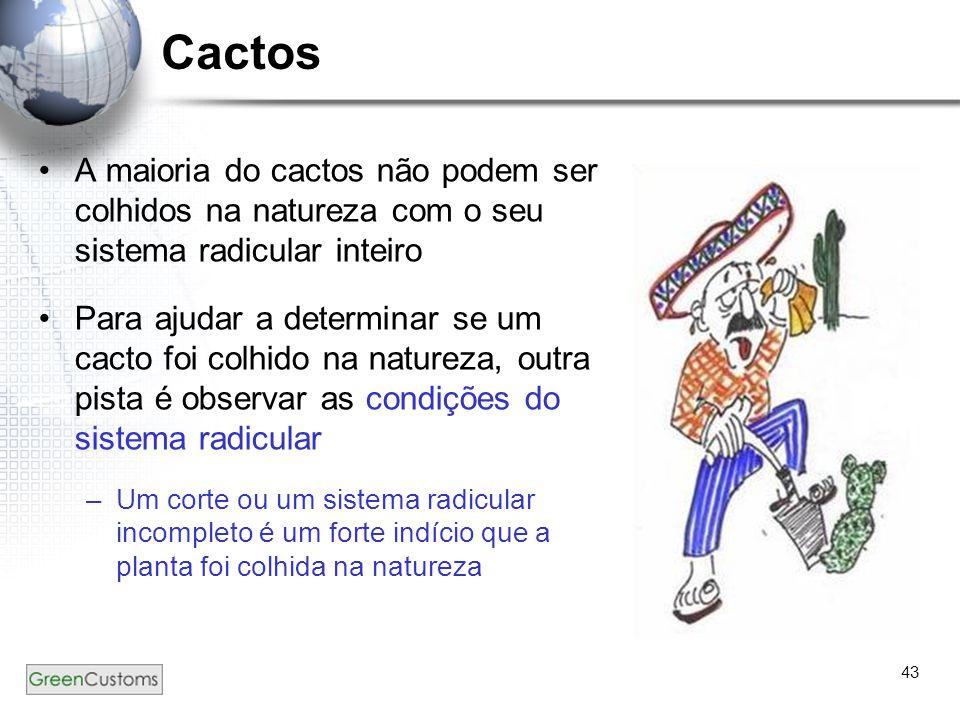 43 Cactos A maioria do cactos não podem ser colhidos na natureza com o seu sistema radicular inteiro Para ajudar a determinar se um cacto foi colhido